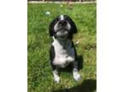 Adopt Bentley a Boston Terrier, Australian Cattle Dog / Blue Heeler