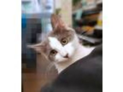 Adopt Lily a White (Mostly) Domestic Shorthair (short coat) cat in Sioux Falls