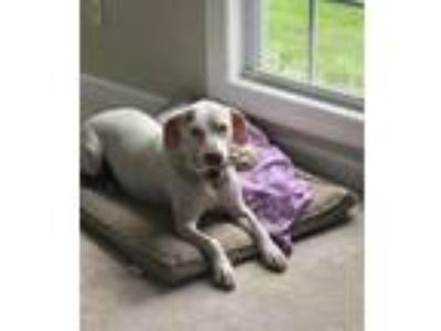 Adopt Luna a Labrador Retriever, Hound