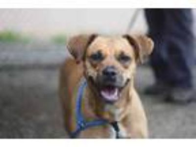 Adopt Rowanda a Tan/Yellow/Fawn American Pit Bull Terrier / Mixed dog in