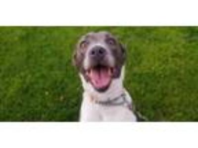 Adopt Waffle a American Staffordshire Terrier, Pit Bull Terrier