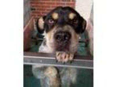 Adopt Maui a Black Catahoula Leopard Dog / Mixed dog in Chattanooga