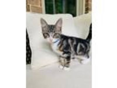 Adopt Bd Litter Fred a Domestic Short Hair, Bengal