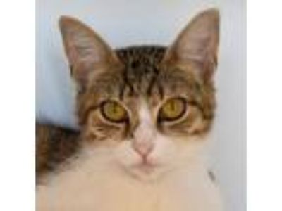 Adopt Joanie a Brown Tabby Domestic Shorthair / Mixed (short coat) cat in