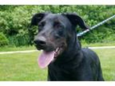 Adopt Zara a Border Collie, Doberman Pinscher