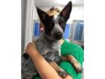 Adopt Marble a Black Australian Cattle Dog / Mixed dog in Terre Haute