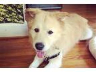 Adopt Maxwell Smart (Max) a Chow Chow / Golden Retriever / Mixed dog in Durham