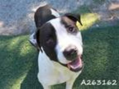 Adopt HOOFY a Pit Bull Terrier, Mixed Breed