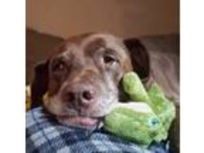 Adopt Dixie a Brown/Chocolate - with White Labrador Retriever / American Pit