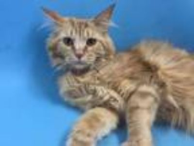 Adopt Sara a Domestic Long Hair, Domestic Short Hair