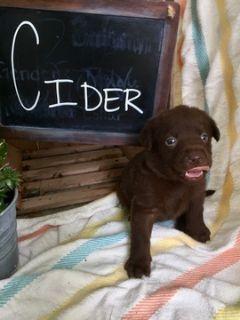 Labrador Retriever PUPPY FOR SALE ADN-90378 - AKC REGISTERED ENGLISH LABRADOR RETRIEVERS