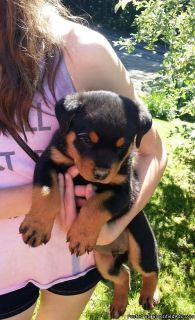 Small rotweiller puppies for sale
