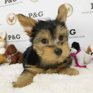 Yorkshire Terrier PUPPY FOR SALE ADN-75516 - Yorkshire Terrier  Eve  Female
