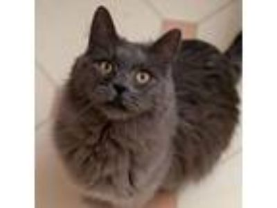 Adopt Fiddlesticks a Domestic Long Hair
