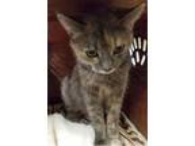 Adopt Sharry a Brown Tabby Domestic Shorthair (short coat) cat in Chisholm