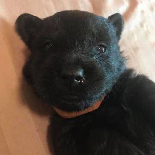 Scottish Terrier PUPPY FOR SALE ADN-99311 - Female Scotty with Brown Collar