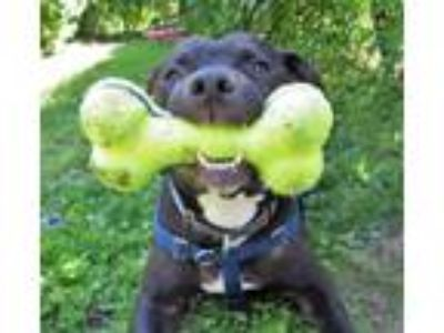 Adopt DAMON a Black - with White Pit Bull Terrier / Mixed dog in Boston