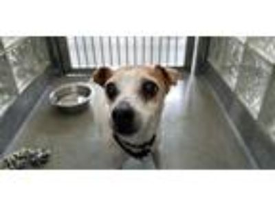 Adopt Rocko a Jack Russell Terrier / Mixed dog in Pittsburgh, PA (25846222)