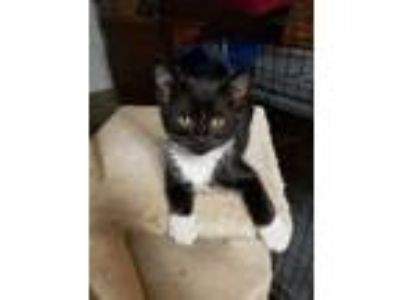 Adopt Chopper a Domestic Short Hair