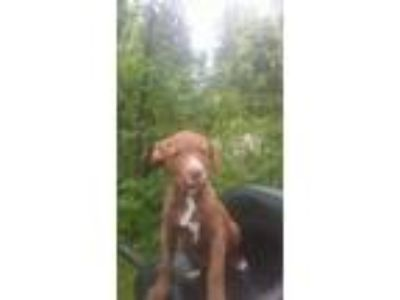 Adopt Puppy 1 a Pit Bull Terrier