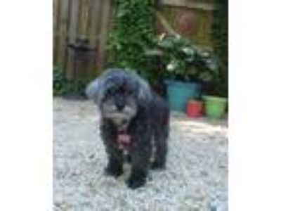 Adopt Shadow - 10 pounds a Gray/Silver/Salt & Pepper - with Black Poodle
