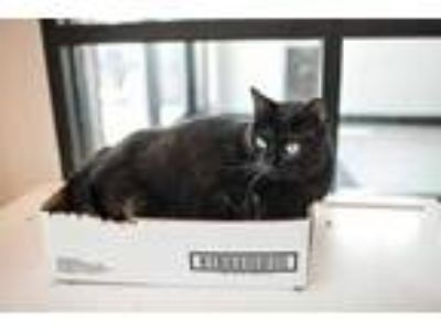 Adopt Skooter a All Black Domestic Shorthair / Domestic Shorthair / Mixed cat in