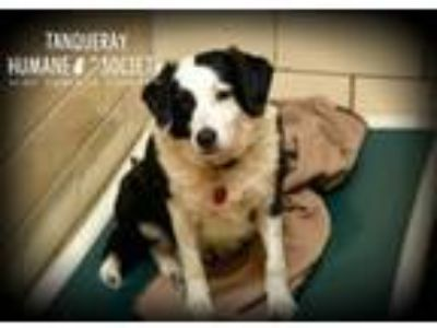 Adopt Tanqueray a Border Collie