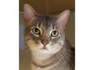 Adopt Boo Kitty a Gray, Blue or Silver Tabby Domestic Shorthair (short coat) cat