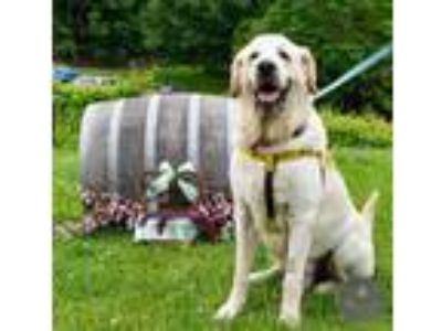 Adopt Falkor a White - with Tan, Yellow or Fawn Great Pyrenees / Retriever