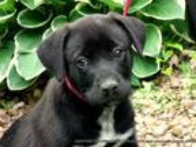 Adopt CELESTE a Black - with White Mastiff / Labrador Retriever / Mixed dog in
