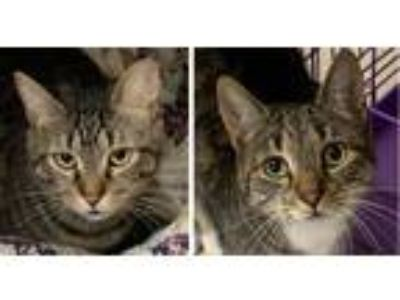 Adopt Sugarfoot and DJ a Brown Tabby Domestic Shorthair (short coat) cat in