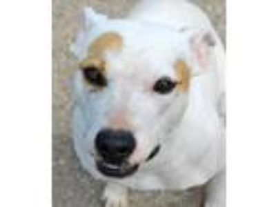 Adopt Willow a Pit Bull Terrier / Mixed dog in Memphis, TN (14618461)