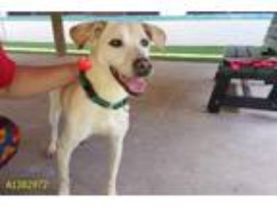 Adopt HAILEY a Tan/Yellow/Fawn - with White Labrador Retriever / Mixed dog in