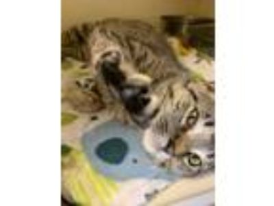 Adopt Clive a Brown or Chocolate Domestic Shorthair / Domestic Shorthair / Mixed