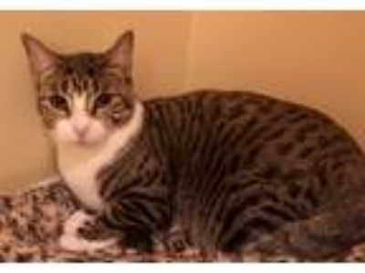 Adopt Ikura a Brown Tabby Domestic Shorthair (short coat) cat in River Edge