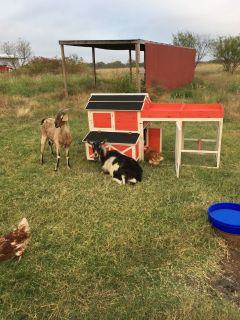 Goat Nubian Female for sale 100% Grass fed unvaccinated