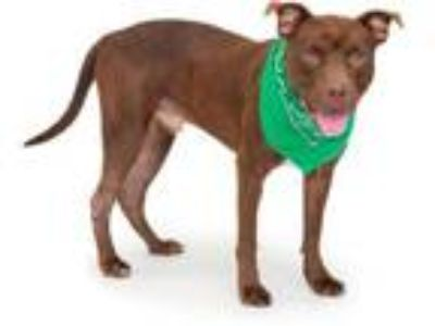 Adopt JAX a Pit Bull Terrier, Mixed Breed