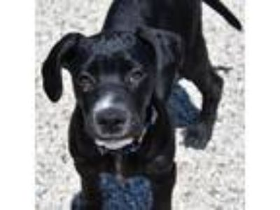 Adopt Doc a Labrador Retriever