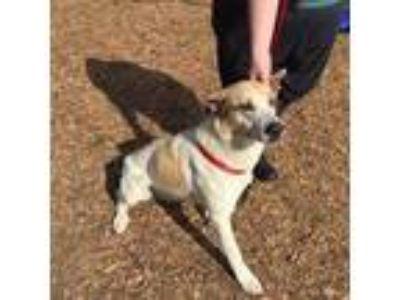 Adopt Chelsea a Australian Cattle Dog / Blue Heeler, Shepherd