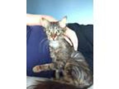 Adopt Crunch a American Curl / Mixed cat in Libertyville, IL (25905239)