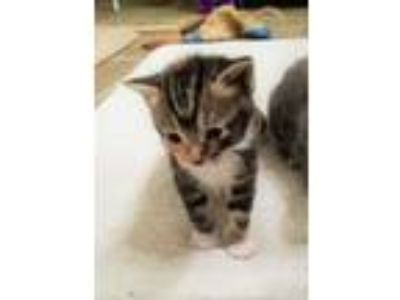 Adopt Beautiful Kitten Mix a Tabby, Domestic Short Hair