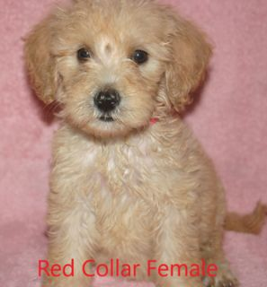 Goldendoodle PUPPY FOR SALE ADN-64296 - Goldendoodle F1B Red Collar Female