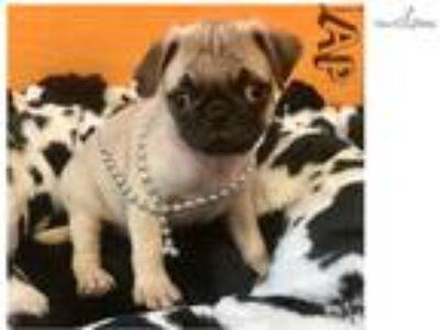 Hei Hei Cute Pug for sale Bayside Flushing Queens