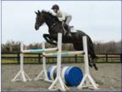 Amazing TBIrish Sport Horse Eventer