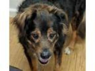 Adopt Salvatore a German Shepherd Dog