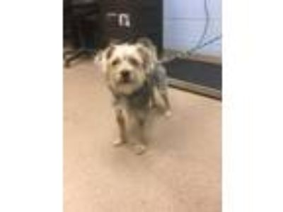 Adopt Ralo a Yorkshire Terrier, Standard Poodle