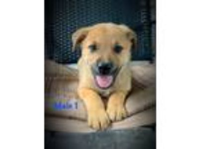 Adopt A - Beast a Golden Retriever, Labrador Retriever