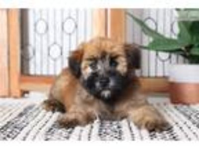 Hurley- Awesome Male AKC Wheaton Terrier Puppy