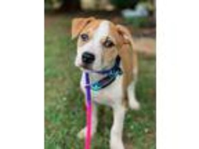 Adopt Cal a Tan/Yellow/Fawn - with White American Pit Bull Terrier / Boxer /