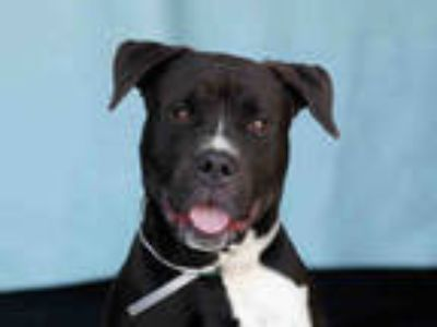 Adopt MAX a Black - with White American Pit Bull Terrier / Mixed dog in Downey